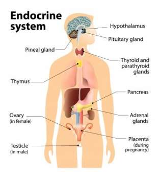 Macintosh HD:private:var:folders:y6:gcw84_953zlb3_4b1cc4hxs40000gn:T:TemporaryItems:endocrine-system.jpg