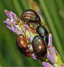 C:Documents and SettingsUserDesktop260px-Chrysomelidae_-_Chrysolina_americana.JPG