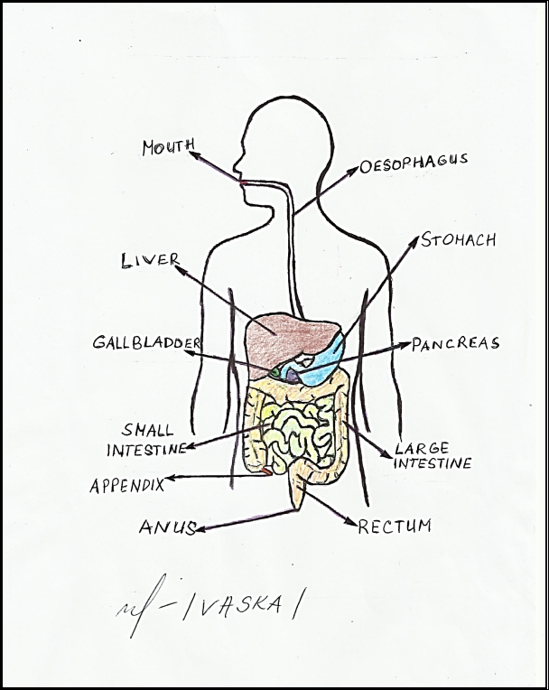 Anatomy And Physiology Digestive System Diagram