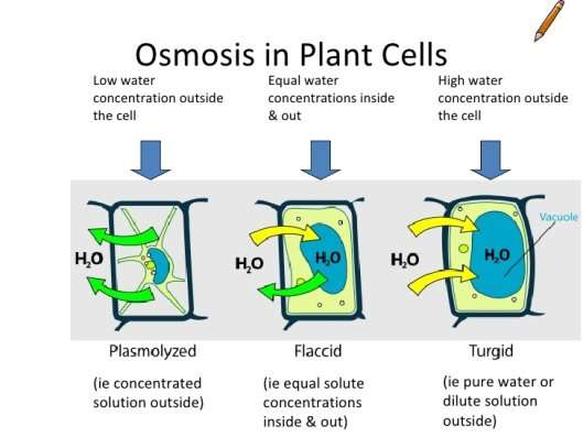 osmosis in plant cells essay Osmosis in plants typical plant cell (no chloroplasts): unlike osmosis taking place in animal cells, the cell wall does not prevent the uptake or loss of soluble molecules it is the plasma/cell membrane.