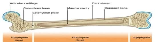 Image result for structure of the long bone