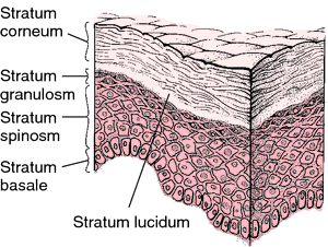 Image result for the epidermis layer