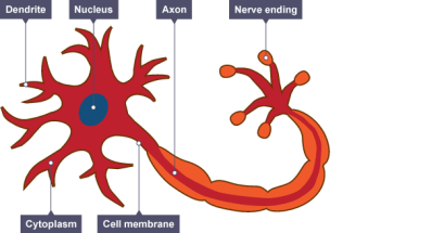 Motor neurone. At one end there is a nucleus surrounded by cytoplasm and dendrite.  All enclosed by a cell membrane.  There is a long tail holding the Axon which connects with the nerve endings.