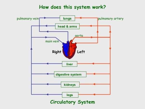 https://image.slidesharecdn.com/circulatorysystem-131214085723-phpapp01/95/circulatory-system-4-638.jpg?cb=1387011567