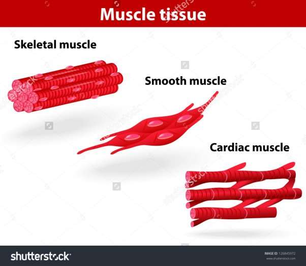 http://image.shutterstock.com/z/stock-vector-types-of-muscle-tissue-skeletal-muscle-smooth-muscle-cardiac-muscle-vector-scheme-126845972.jpg