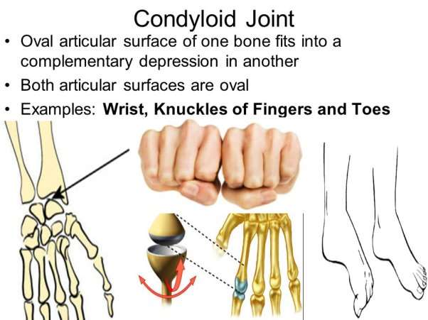 Image result for condyloid joint