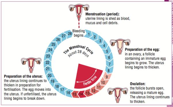 http://portraitbydesdunes.com/menstrual-cycle-diagram-79.png